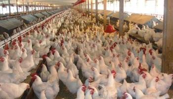 Chicken Manure B+